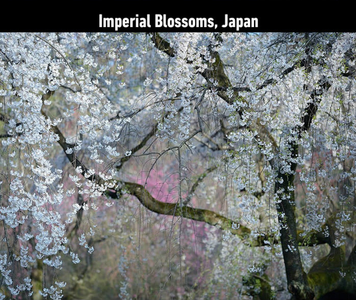 imperial blossoms japan