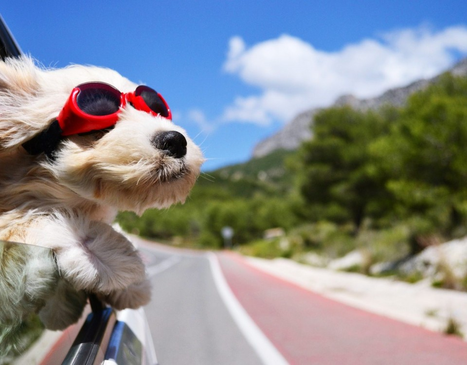 Σκύλος με γυαλιά ηλίου στο αυτοκίνητο