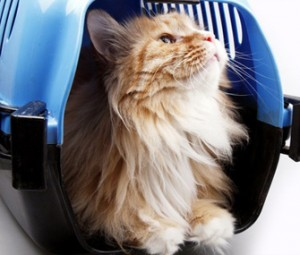 Γάτα σε βαλιτσάκι μεταφοράς